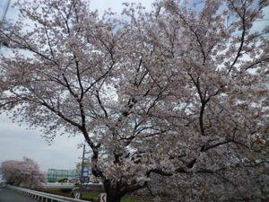 20110410sakurap1030594