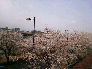 味スタの桜